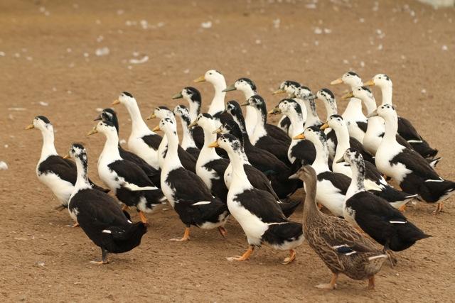 Ducks Group 26